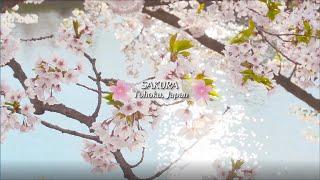 Sakura Tohoku, Japan