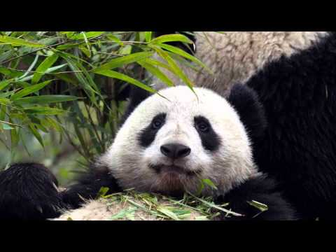 Stories Of Snipescopeful (sos): Porn Sparks Panda Baby Boom In China video