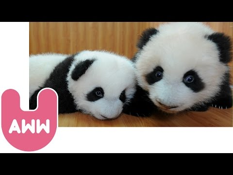 Baby Panda Twins Video