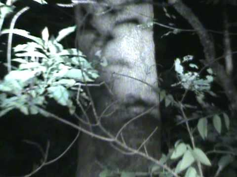 Coon Hunting. Coon Peaks out woodpecker hole Video