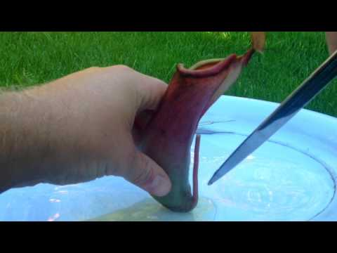 Inside The Stomach Of A Carnivorous Plant. Dissecting a Tropical Nepenthes Pitcher Plant