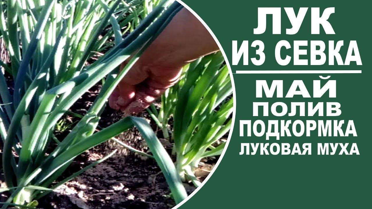 Агротехника выращивания лука на репку из севка 91