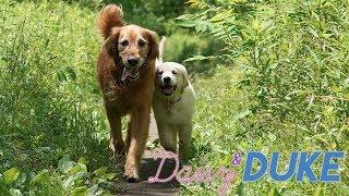 Golden Retriever Puppy Trail Walk - Daisy + Duke Days 42-47