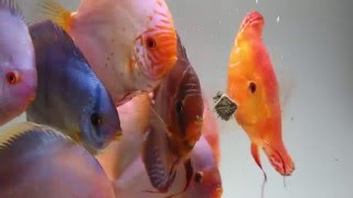 Stendker Discus filmed by Discus.ae