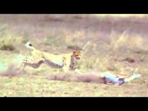 caceria. (hunting cheetah)