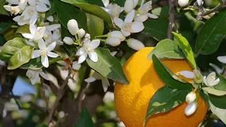 Primero hay que saber sufrir... (Naranjo en flor) por  El Escritor de la Web