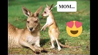 Top Cute Baby Kangaroo (Joey) Videos Compilation 2017 [BEST OF]