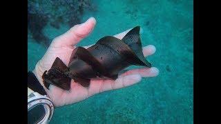 Chàng trai nhặt được 'ốc vít' khổng lồ dưới đáy biển, hóa ra đây là trứng của sinh vật quý