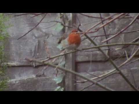 Robin Red Breast (Pictures by Roy West)