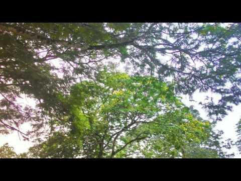 Trees in Kuala Lumpur