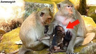 What a pity! Baby monkey Lori very hungry, Dolly is kind mother give baby breastfeed, Samnnang kh