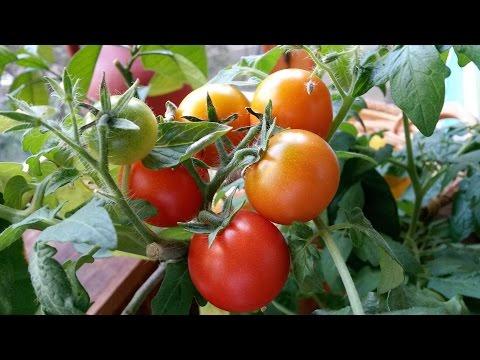 Мой балконный огород часть 4. 23.09.15
