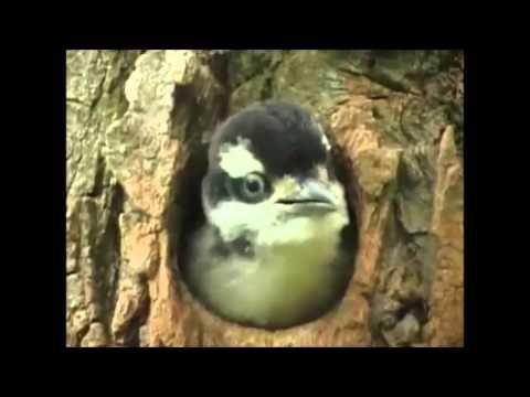 Suara anak burung pelatuk hairy mantab untuk pemasteran