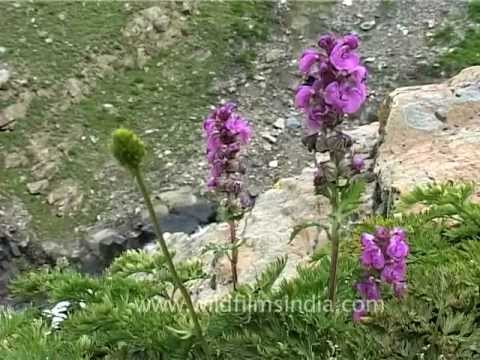 Wildflowers from the western Himalayas in Jammu and Kashmir