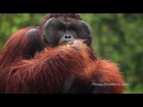 Semengoh Orangutan Sanctuary, Malaysia (HD) Travel Video