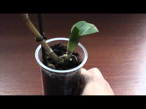 Как поливать орхидею без корней