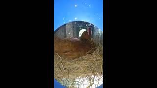 Chuyện lạ gà bay lên chuồng bồ câu làm ổ
