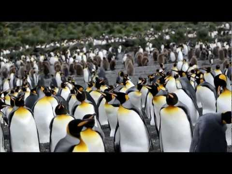 King Penguins Nesting