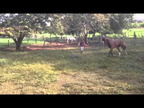 Caballos de Paso Costarricense en Venta Potro Costarricense de Paso en
