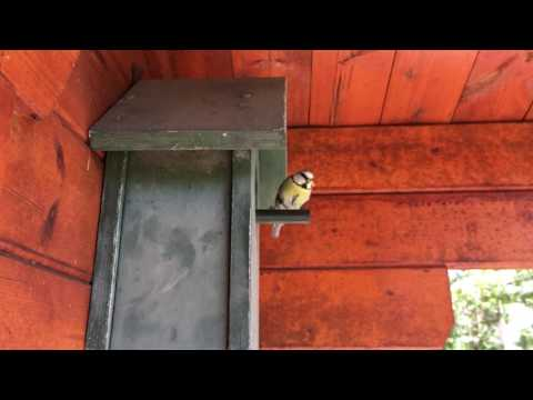 Different Approaches and Exits of Tomtits at the Birdhouse in Slowmotion