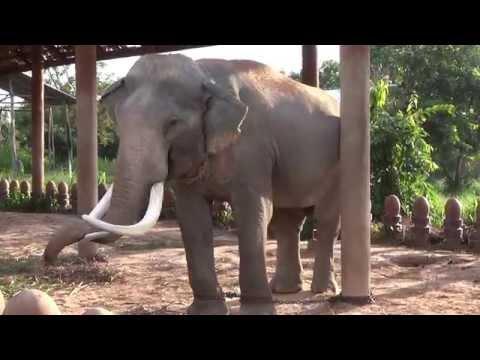ongbak  elephant ช้างองค์บาก