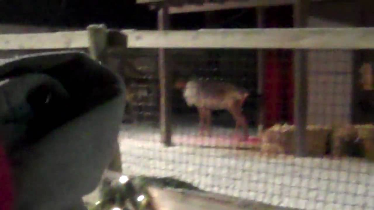 Rudolph The Red Nosed Reindeer >> Why Can Only Santa's Reindeer Fly?? Caught on Tape - YouTube