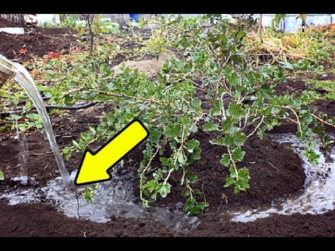 Подкормите этим крыжовник осенью в сентябре для небывалого урожая на следующий год!