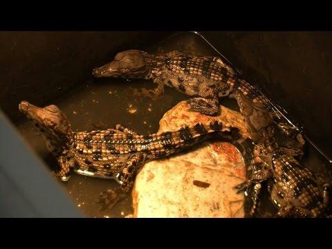 Endangered crocodiles bred at Abidjan's zoo