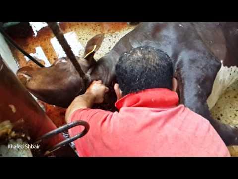 [HD] نحر الأضحية بتقنية Slow Motion | عجل شراري بقطاع غزة