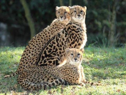 Семейство гепардов. Документальный фильм.