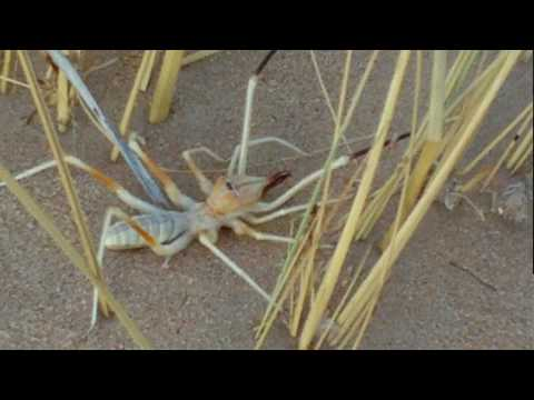 Largest Camel Spider On Record Biggest spider in the world