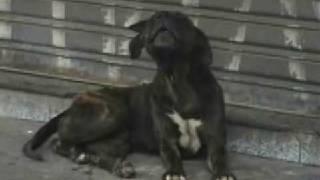 Cachorro chora pela morte do seu dono