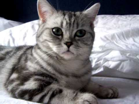 Beautiful British Shorthair Cat Video