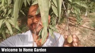 उत्तर भारत में उगा सकते है बादाम || बादाम की खेती ||Growing almond plant in northern India