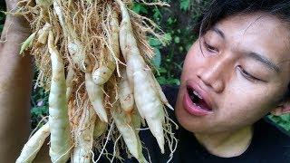 Jungle Food | Makan Garut / Irut / Lirut mentah yang segar dan nikmat.