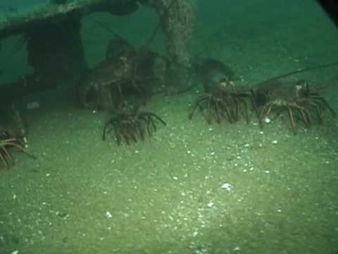 California lobster diving youtube for How much is a saltwater fishing license in florida