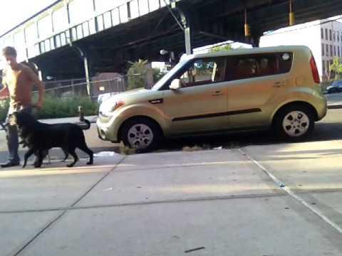 Teach puppy heel with older dog............Peter Caine dog training, Brooklyn NYC