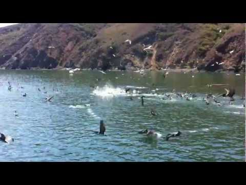 Feeding Frenzy at Port San Luis