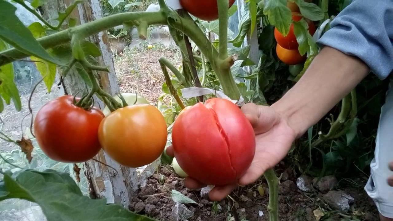 Как сделать так чтобы помидоры краснели на кусту 15