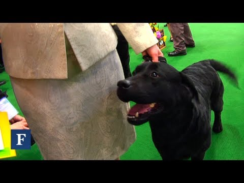 Best In Show: The Labrador Attempts To Win The Westminster Dog Show