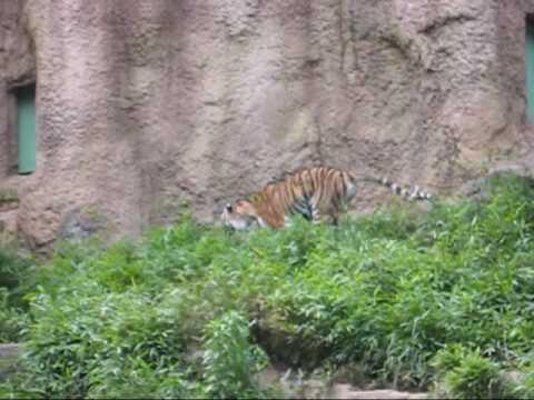 多摩動物公園アムールトラ_シズカ走りまわる