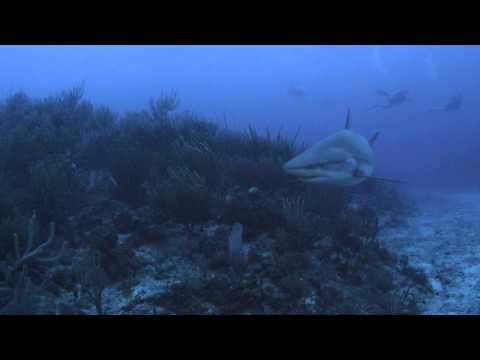 Caribbean Reef Shark in the Man of War Shoal Marine Protected Area