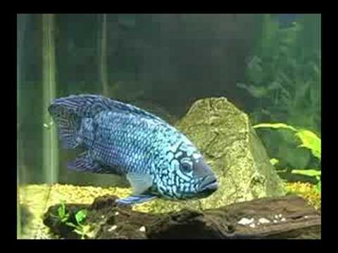 Electric Blue Jack Dempsey Video