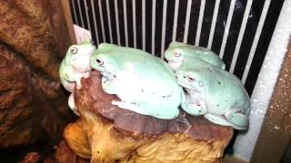 Whites tree frogs croaking on command