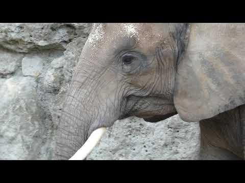Neues Elefanten Baby (Elephantidae) im Tiergarten Schönbrunn geboren! VII. 2019 fz82/83 Superzoom