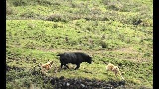 Cães Encontram Touro Fugido Em Zona De Alto Risco - Searching The Lost Bull In High Risk Zone