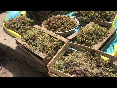 AZERY style Wine making. Как делать вино домашних условиях. Simple but best!