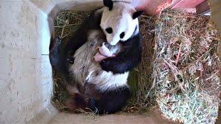 Download Lagu В зоопарке Вены панда «скрывала» второго детеныша (новости) Gratis STAFABAND