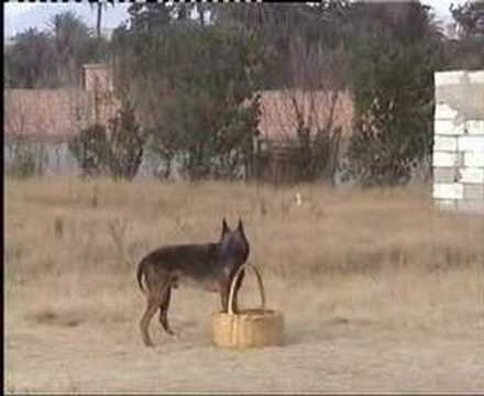 berger malinois au maroc ( www.chien-dressage.c.la ) - YouTube