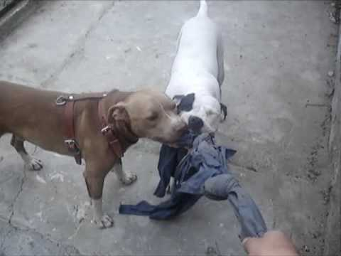 APBT RED NOSE PITBULLS Video